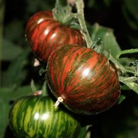 Tomato Seeds - Chocolate Stripes