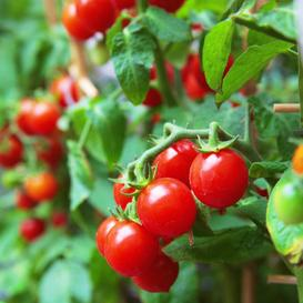 Tomato Seeds (Organic) - Small Red Cherry