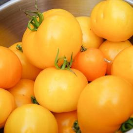 Tomato Seeds - Golden Jubilee