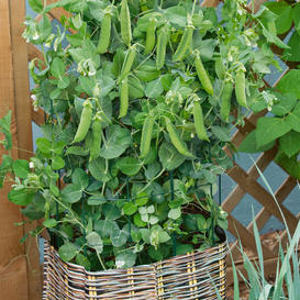 Pea Seeds - Patio Pride