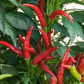 Hot Pepper Seeds - Thai Super Chili F1
