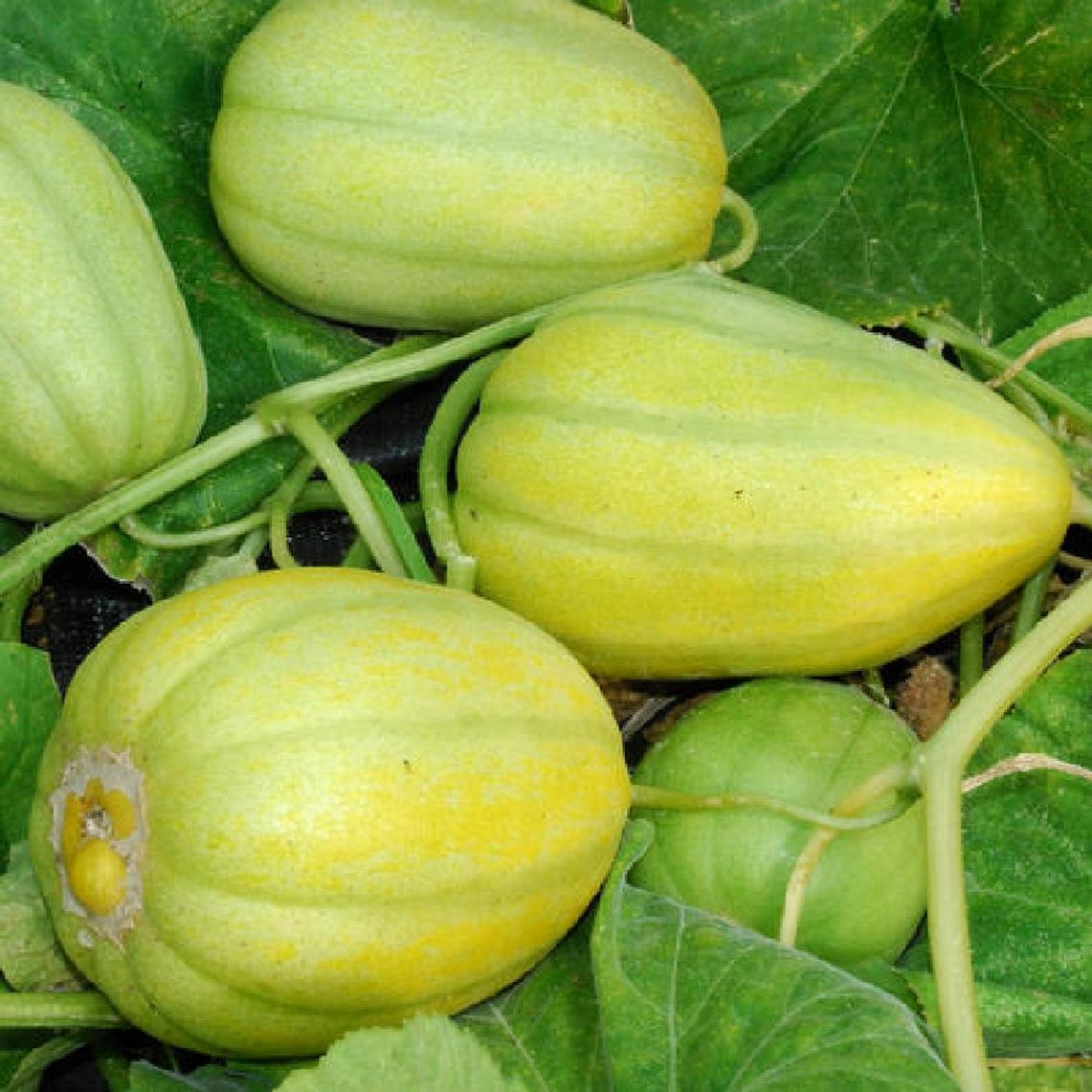 Early Silver Line Melon Seeds