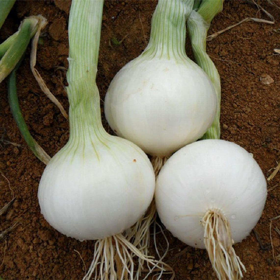 Onion Seeds (Long Day) - White Sweet Spanish