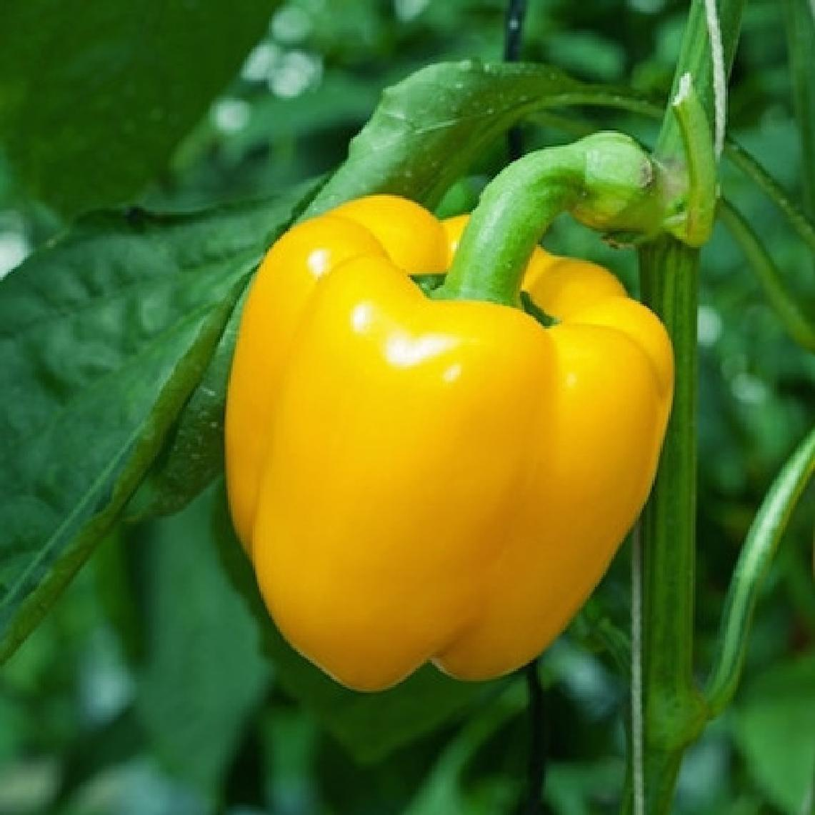 Sweet Pepper Seeds - Sunbright