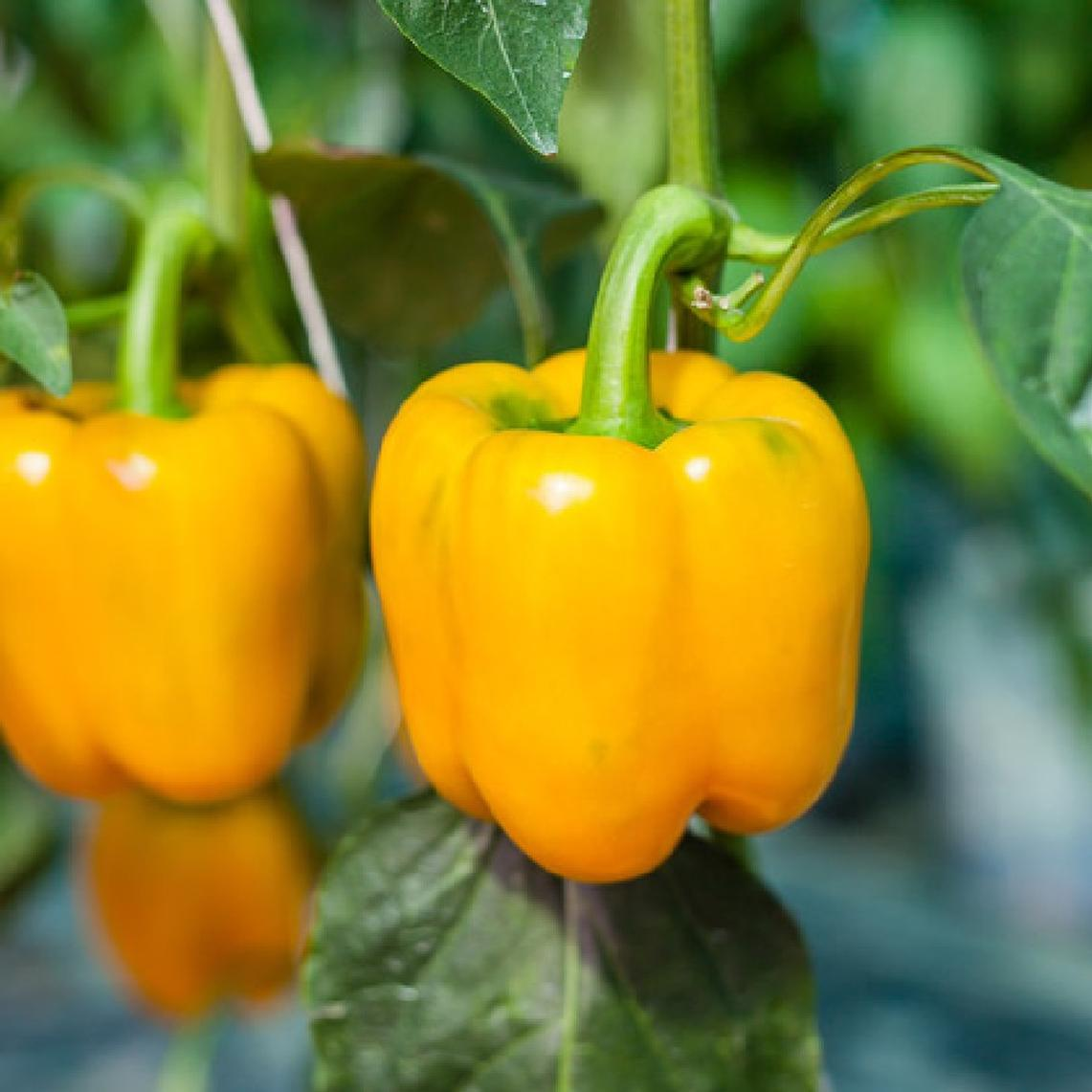 Sweet Pepper Seeds (Organic) - Golden Cal Wonder