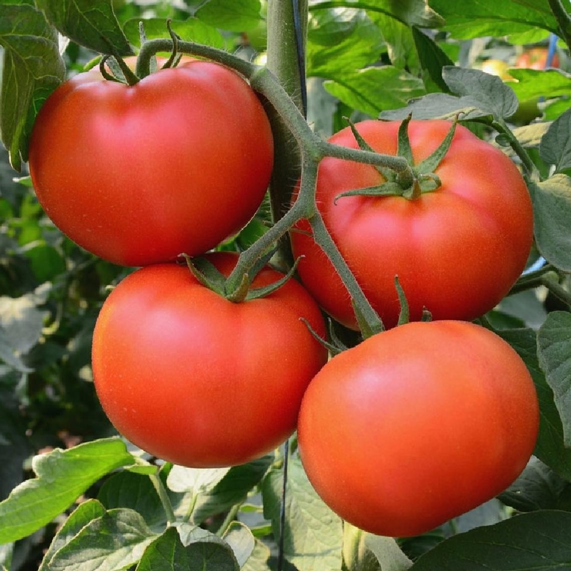 Tomato Seeds - Homestead