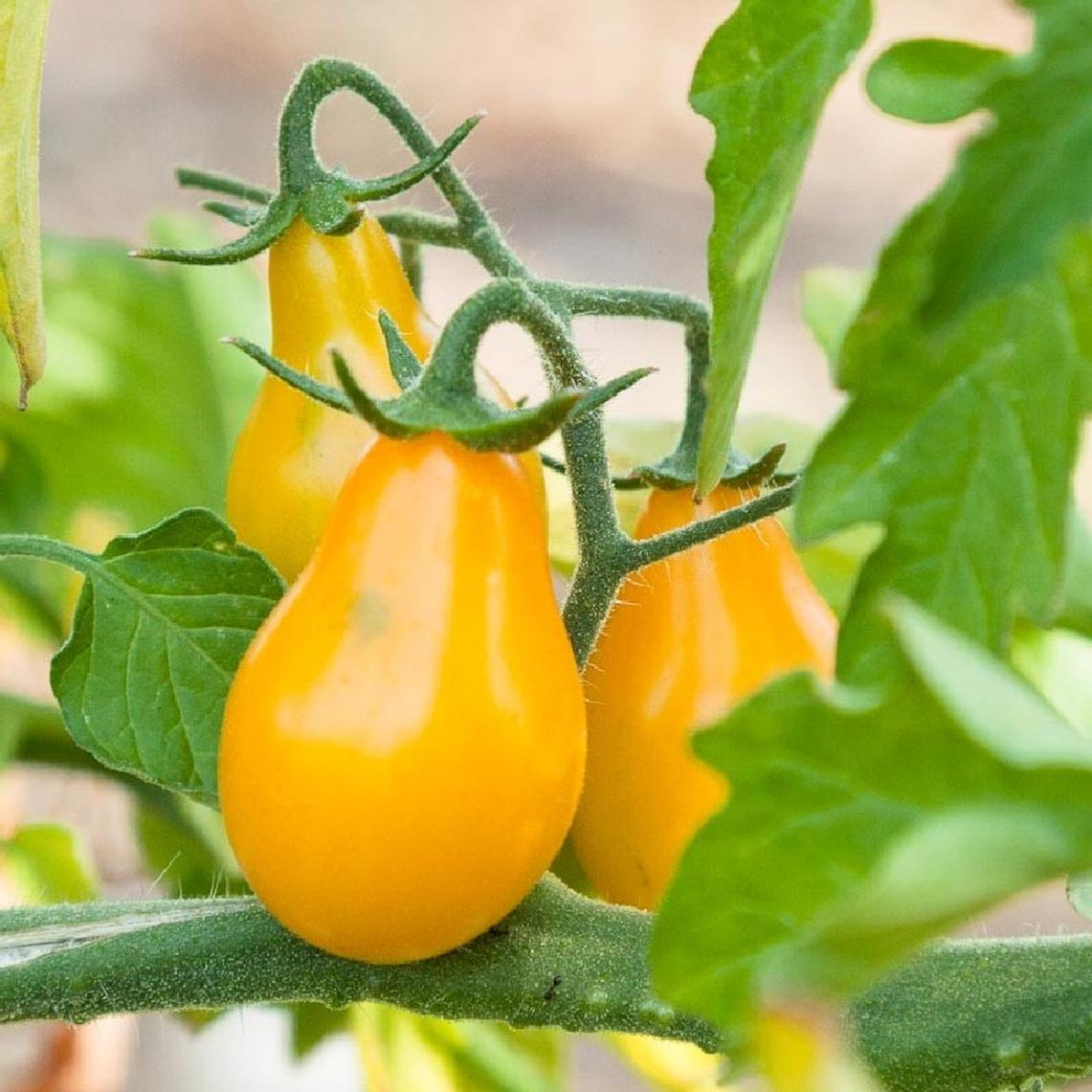 Tomato Seeds - Yellow Pear