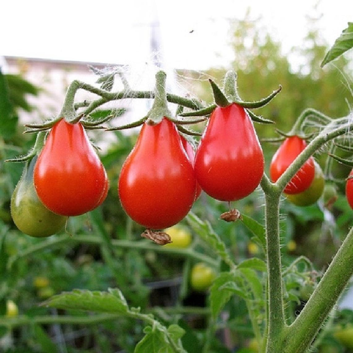 Tomato Seeds - Red Pear
