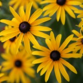 Heirloom Rudbeckia Seeds