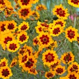 Coreopsis Seeds
