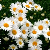 Heirloom Daisy Seeds