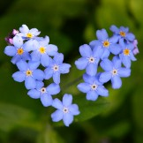 Heirloom Forget-Me-Not Seeds