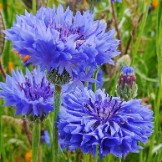 Cornflower / Bachelor's Button Seeds