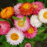 Strawflower Seeds