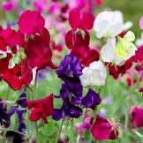 Heirloom Sweet Pea Seeds