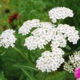 Heirloom Yarrow Seeds